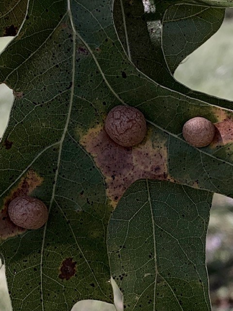 Galls grow on an oak on Discovery Road South in September 2019. nature, plant, tree, oak Photo: Spring Barrett