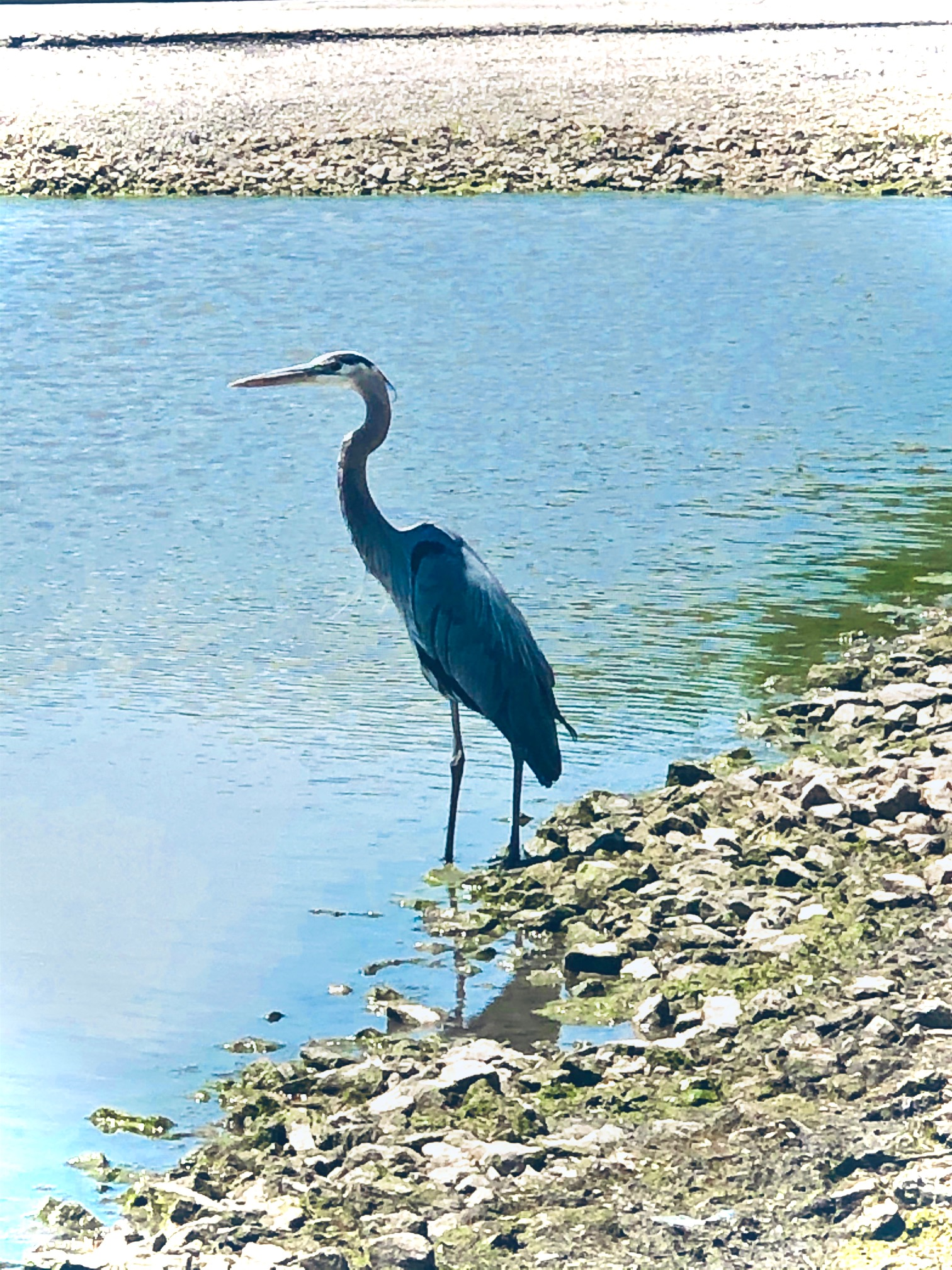 A great blue heron tries to stay cool by a pond.nature, wildlife, animal, bird, heron, great blue heron, pond, water  Photo: Jorge Noel Mendoza