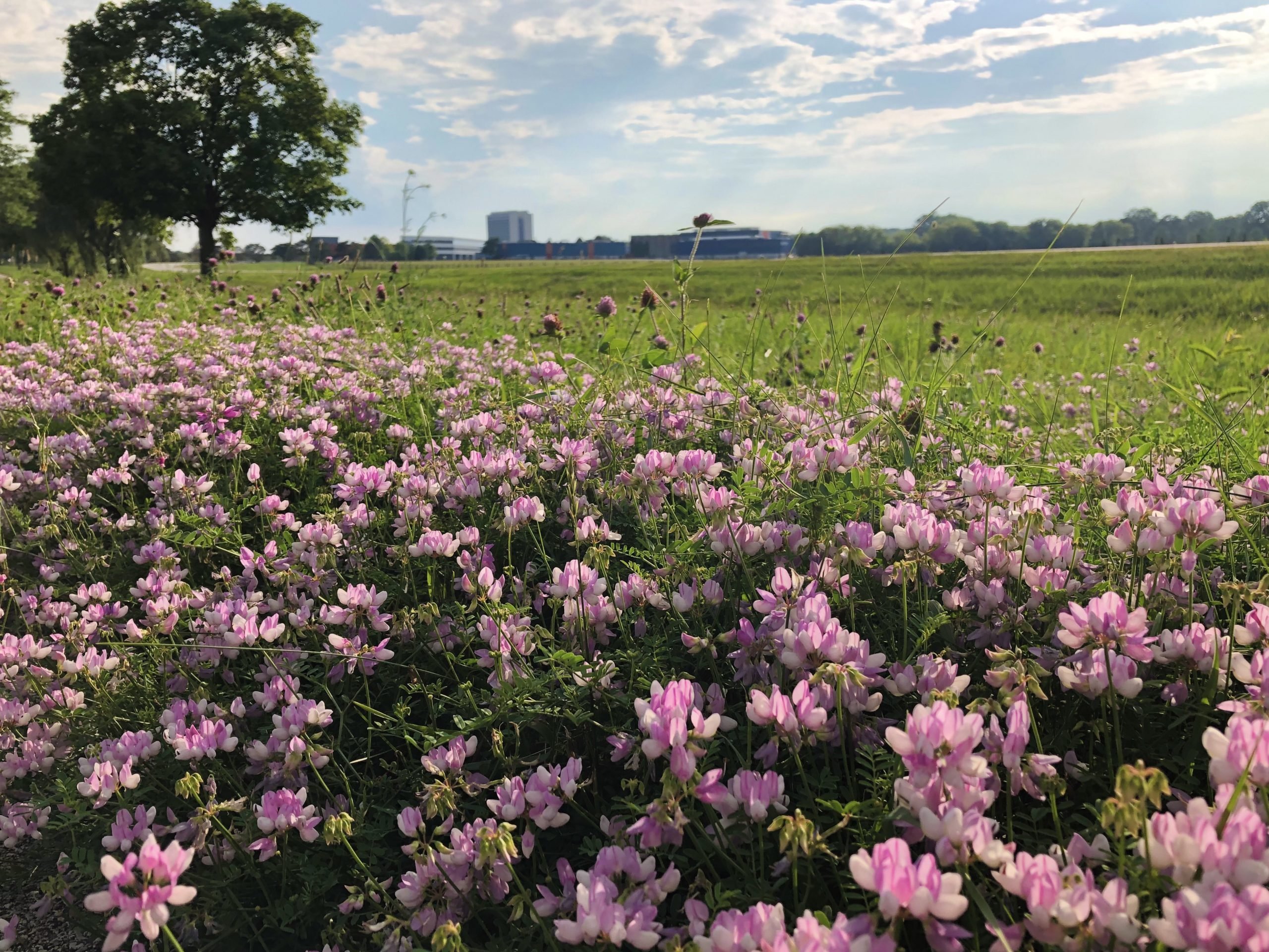 A field of flowers stretches toward the horizon on July 8. nature, landscape, flower, plant, prairie, building, Wilson Hall Photo: Maria Martinez Casales