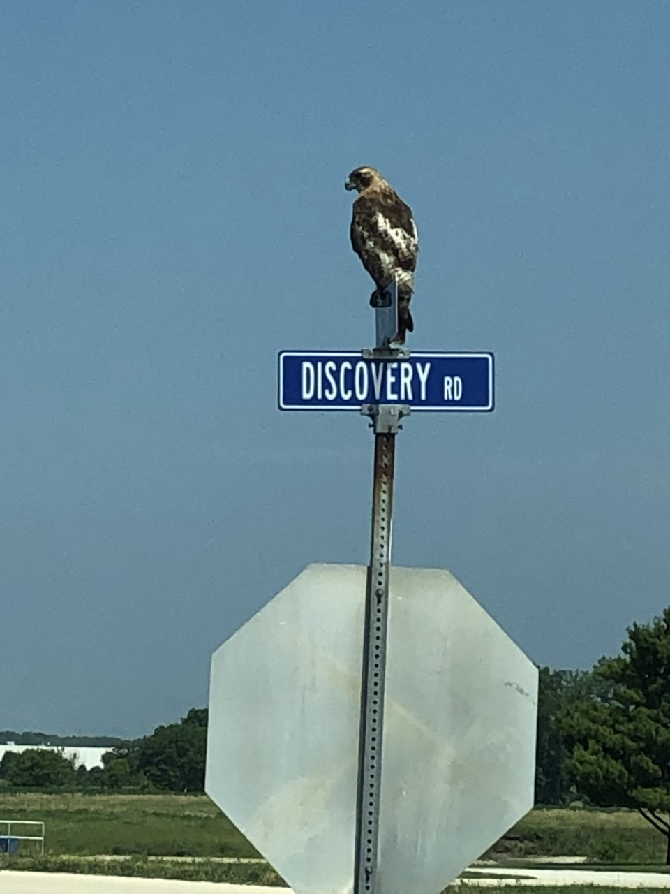 A hawk hangs out at the corner of Discovery and Eola. nature, wildlife, animal, bird, hawk Photo: Dan McKinley