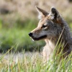 A coyote is out for the hunt near Casey's Pond. nature, wildlife, animal, mammal, coyote, plant, grass, prairiePhoto: Brian Chase