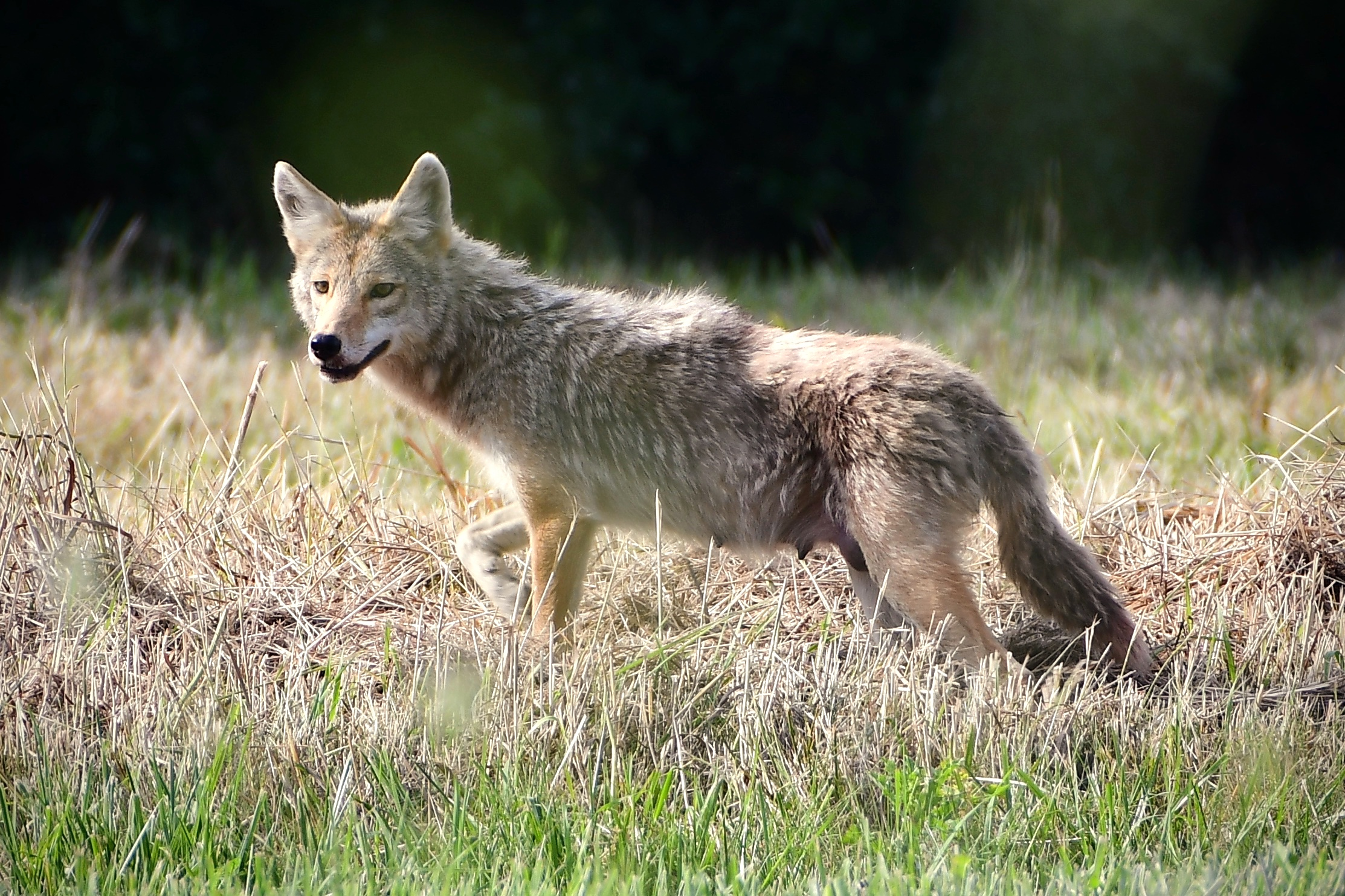 Away from her pups, she takes in the view on a nice afternoon. nature, wildlife, animal, mammal, coyote, prairie, plant, grass Photo: Brian Chase