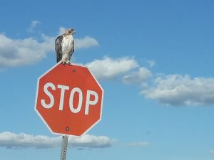 A hawk stops for a rest on Road C. (Caption updated on Aug. 25, 2020). nature, wildlife, animal, bird, hawk, sky, cloud Photo: Greg Derylo