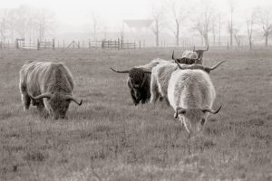 These Scottish Highland cattle had their own pasture to the east of what is now home to the bison. nature, animal, mammal, cattle, landscape, prairie Photo: Tom Nicol