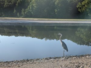 This great blue heron was spotted on Aug. 12 by Swan Lake. nature, landscape, wildlife, animal, bird, great blue heron, lake, pond, water Photo: Valerie Higgins