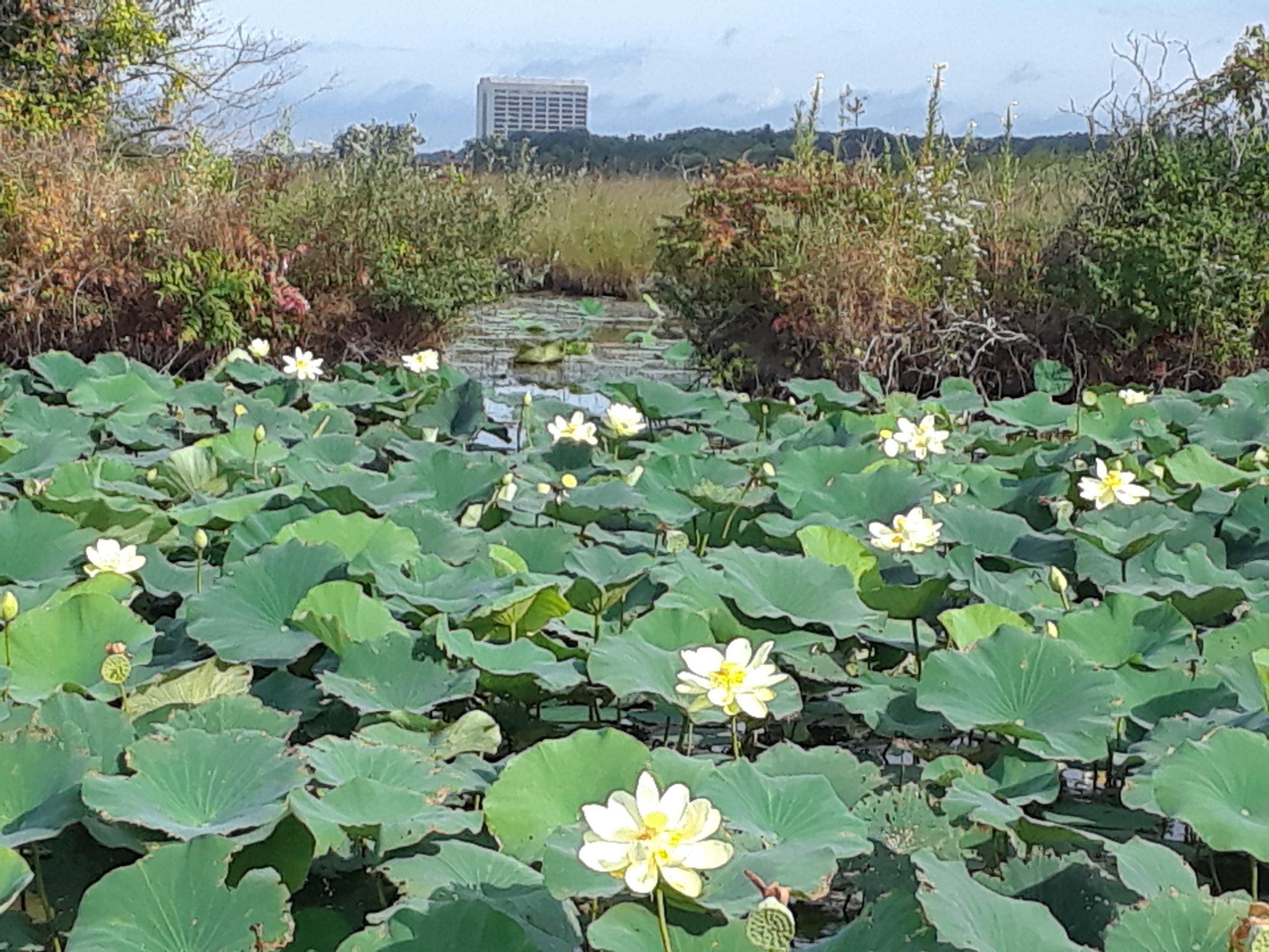 It seems like some things at the Tevatron cooling ring near DZero loved the heat last week. nature, landscape, building, Wilson Hall, pond, water, Tevatron, plant, flower, American lotus Photo: Todd Nebel