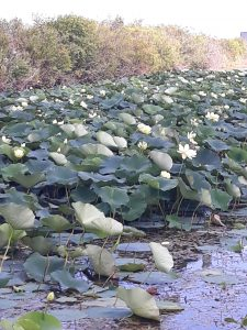 American Lotus bloom around the Main Ring pond at the close of August. nature, landscape, plant, American lotus, water, pond Photo: Luciano Elementi