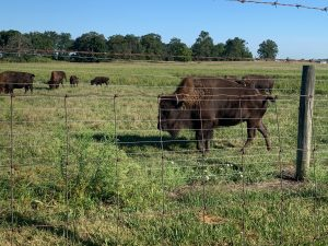 Bison meander on a beautiful morning on Sept. 3. nature, landscape, wildlife, animal, bison, mammal, prairie Photo: Carrie McGivern