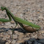A praying mantis enjoys a sunny day along Main Ring Road. nature, wildlife, animal, insect, praying mantis Photo: Daniel Munger