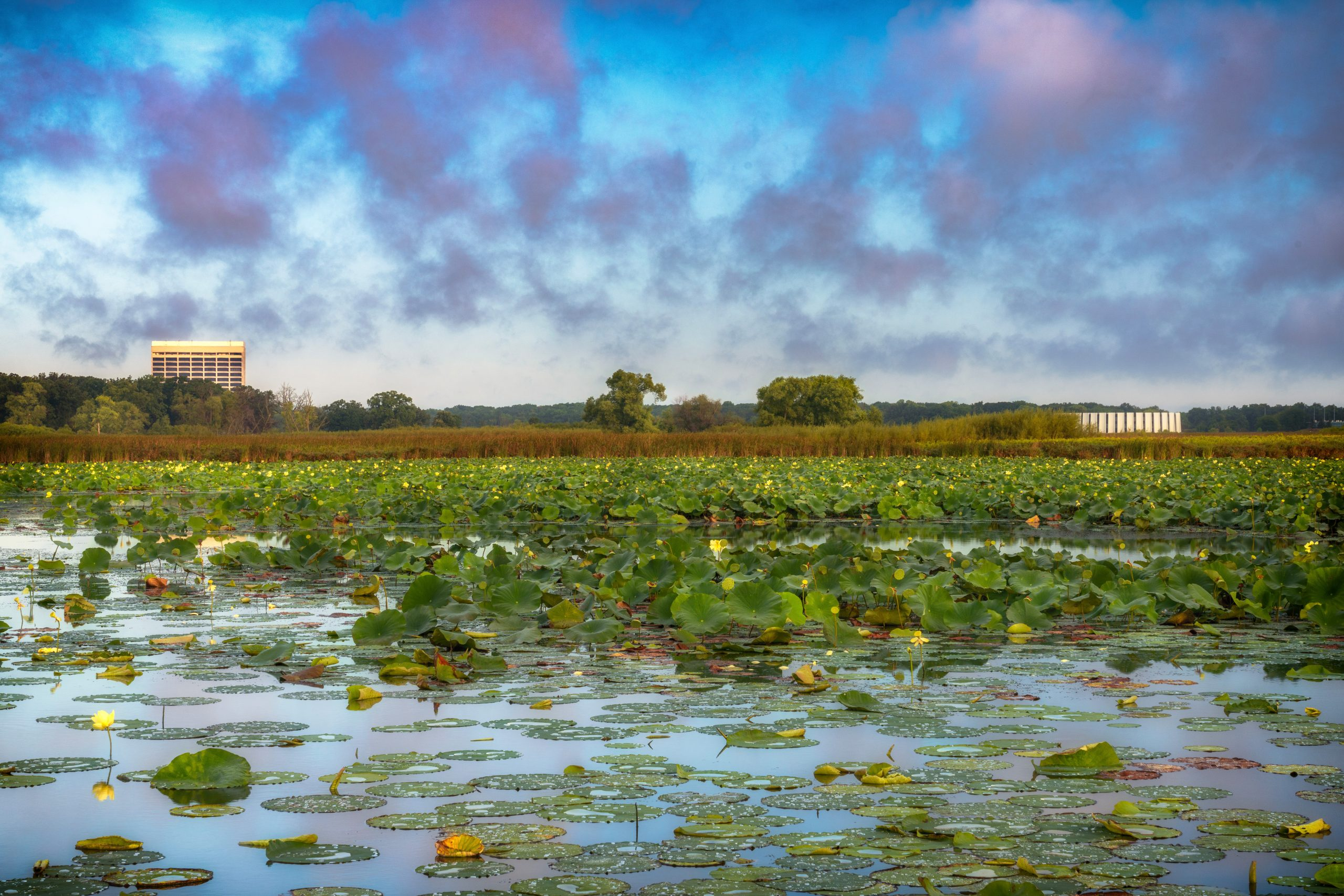 Wilson Hall and Feynman Computing Center peer over a sea of American lotus. nature, landscape, water, pond, plant, American lotus, building, Wilson Hall, Feynman Computing Center, sky, cloud, prairie Photo: Tim Chapman
