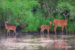 Deer are spotted near the break of day on July 4. nature, wildlife, landscape, animal, deer, mammal, water, pond Photo: Tim Chapman