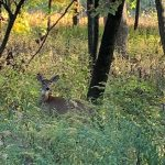 On Oct. 8, a deer in the Big Woods off Pine Street keeps an eye on the photographer. nature, wildlife, animal, deer, tree, woods, Big Woods Photo: Joe Compton