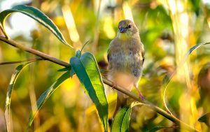 A goldfinch alights on a branch in September 2019. nature, wildlife, animal, bird, goldfinch Photo: Tim Chapman