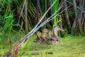 A mother guides her ducklings in June. nature, wildlife, animal, bird, duck, duckling, pond, water Photo: Tim Chapman