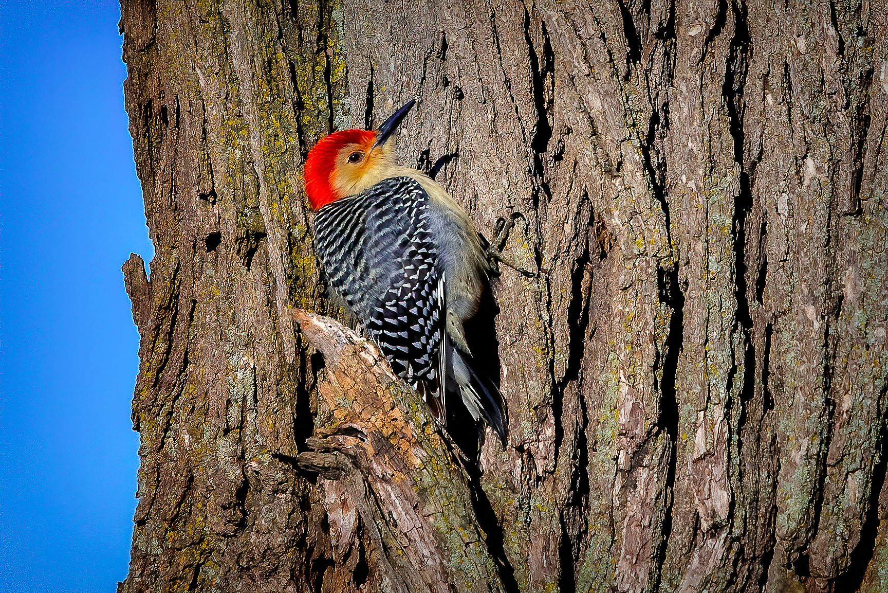 A red-bellied woodpecker checks out a tree on New Year's Day 2020. nature, wildlife, animal, bird, red-bellied woodpecker Photo: Tim Chapman