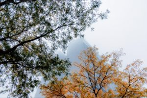The gray shape of the brutalist building peeks is visible behind fall leaves in September 2017. fog, nature, building, Wilson Hall, fall, autumn, plant, tree Photo: Tim Chapman