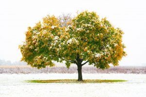 Last month's snow took some by surprise. These lovely, snow-tufted trees, captured a year ago, on Oct. 30, 2019, remind us that sometimes in October, snow happens. And it can be beautiful. autumn, fall, nature, tree, plant, snow Photo: Tom Nicol