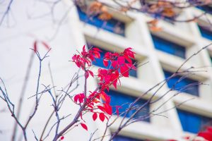 Fall hangs on for a few more days at Fermilab. A burning bush east of Wilson Hall displays its last leaves on Nov. 5. nature, plant, tree, burning bush, building, Wilson Hall, fall, autumn Photo: Elliott McCrory