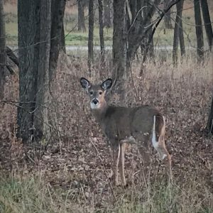 A deer appears near Discovery Road on Nov. 17. nature, wildlife, animal, mammal, deer, woods, plant, tree Photo: Donna Iraci