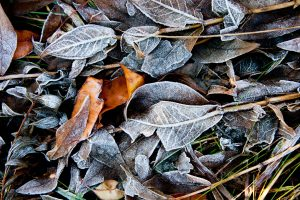 Fall frost gathers on the leaf-covered path on Oct. 10, 2012. frost, fall, autumn, leaf, plant Photo: Tom Nicol