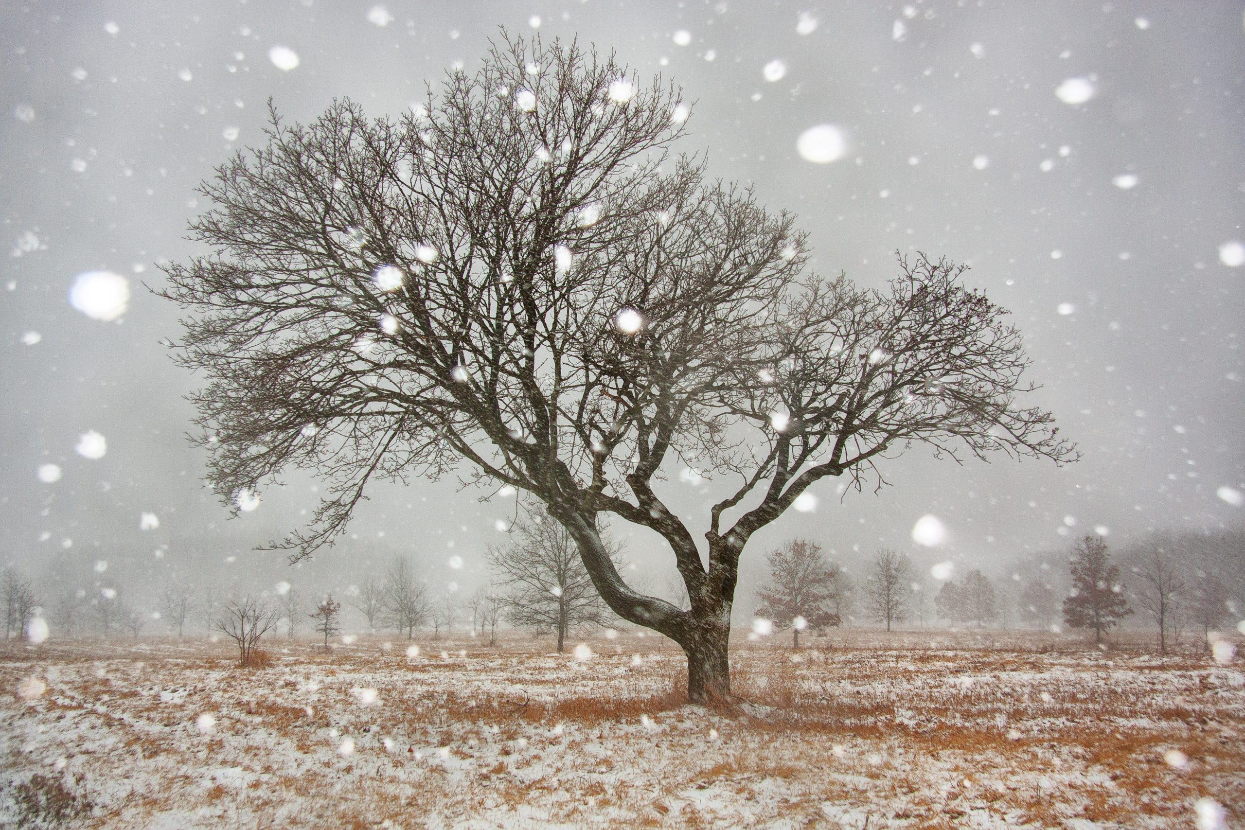 The photographer's favorite tree stands steady in a snowstorm on March 23, 2015. nature, landscape, tree, winter, snow, storm Photo: Tom Nicol