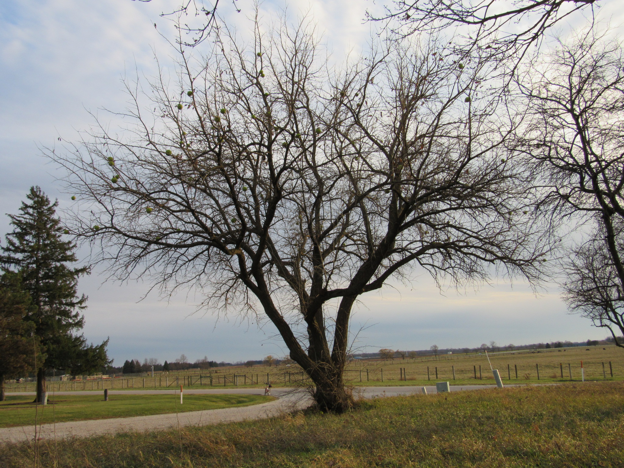 A few osage oranges (<em>Maclura pomifera</em> tree) are still hanging by the Site 50 barn entrance from Batavia Road. nature, landscape, tree, fruit, plant Photo: Luciano Elementi