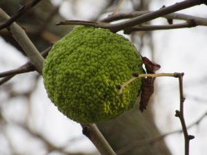 """The fruits are not generally eaten, and human use is limited to the tree's wood, for instance in bow making (bois d'arc). These trees were imported in Europe in the early 18th century and become a source of different legends, ergo their European names: """"pomme d'Adam"""", """"pomo d'Adamo"""", """"nuez de Adán."""" nature, tree, fruit, plant Photo: Luciano Elementi"""