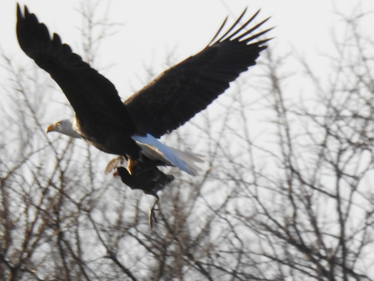 Is this eagle taking a bird out for lunch? nature, wildlife, animal, bird, eagle Photo: Pete Simon