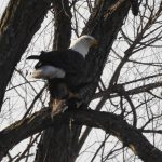 The eagle sits in a tree near DAB. nature, wildlife, animal, bird, eagle Photo: Pete Simon