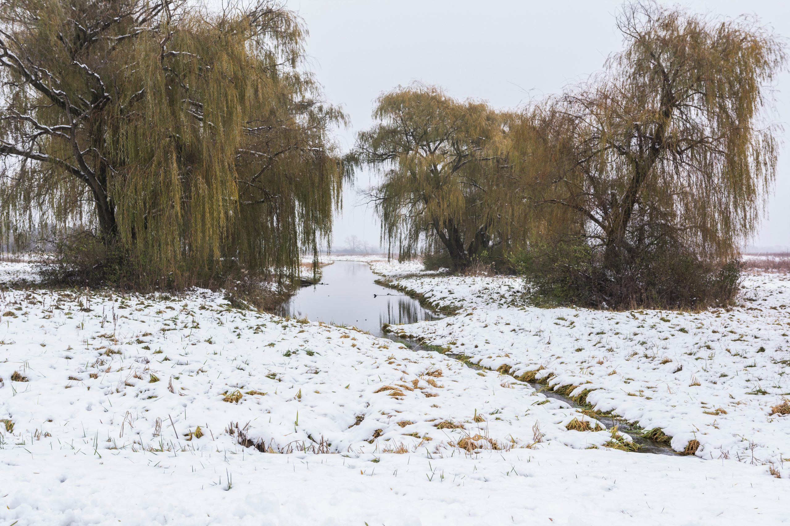 Dec. 6, 2016: Willows rise through the snowy carpet. nature, landscape, willow, tree, plant, prairie, winter, snow Photo: Leticia Shaddix