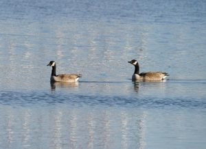 Two geese swim on Swan Lake on March 4. Wilson Hall is reflected in the water as white vertical lines. nature, wildlife, animal, bird, goose, pond, lake, water Photo: Greg Cisko