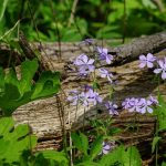 Woodland phlox grows in the woods on April 25, 2017. nature, landscape, plant, flower, woodland phlox, woods Photo: Leticia Shaddix