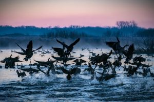 A flock of geese is startled and rises over water on campus. animal, bird, Canada goose, goose, water, sky, nature, campus Photo: Tim Chapman