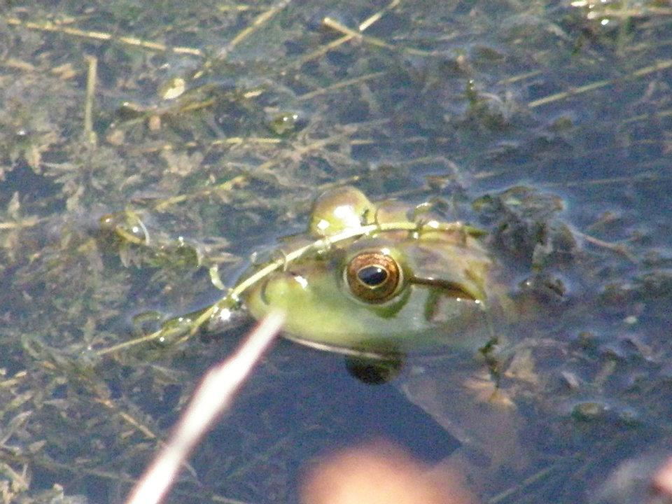 In August 2016, a frog peers out from Casey's Pond. nature, campus, Casey's Pond, animal, frog, water Photo: Al Kandziorski