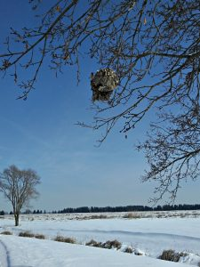 Snow blankets campus on a January day and a paper wasp nest hangs above it. snow, tree, nest, insect, nature, campus Photo: Krzysztof Kompiel