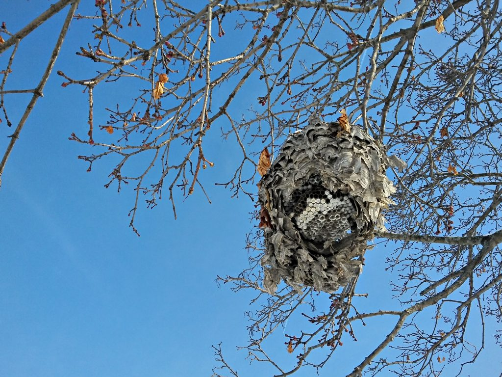 In January, a wasp nest hangs from a tree on campus. tree, sky, nature, insect, nest Photo: Krzysztof Kompiel