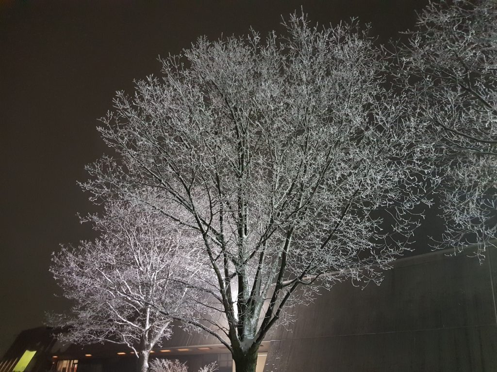 A day of ice fog on Jan. 4 caused beautiful hoarfrost to form on these trees outside the Transfer Gallery. tree, nature, winter, frost, weather, campus Photo: Todd Johnson