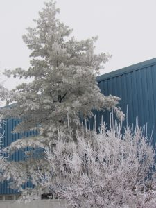 On Jan. 4, hoarfrost covers the branches and needles of shrubs and trees on campus. winter, frost, campus Photo: Luciano Elementi