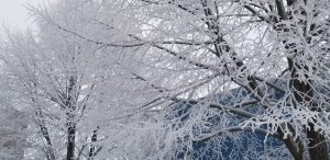 On Jan. 4, hoarfrost ices completely over the small offshoots of branches on the trees near the Industrial Building Complex. weather, frost, ice, tree, campus Photo: Al Kandziorski.