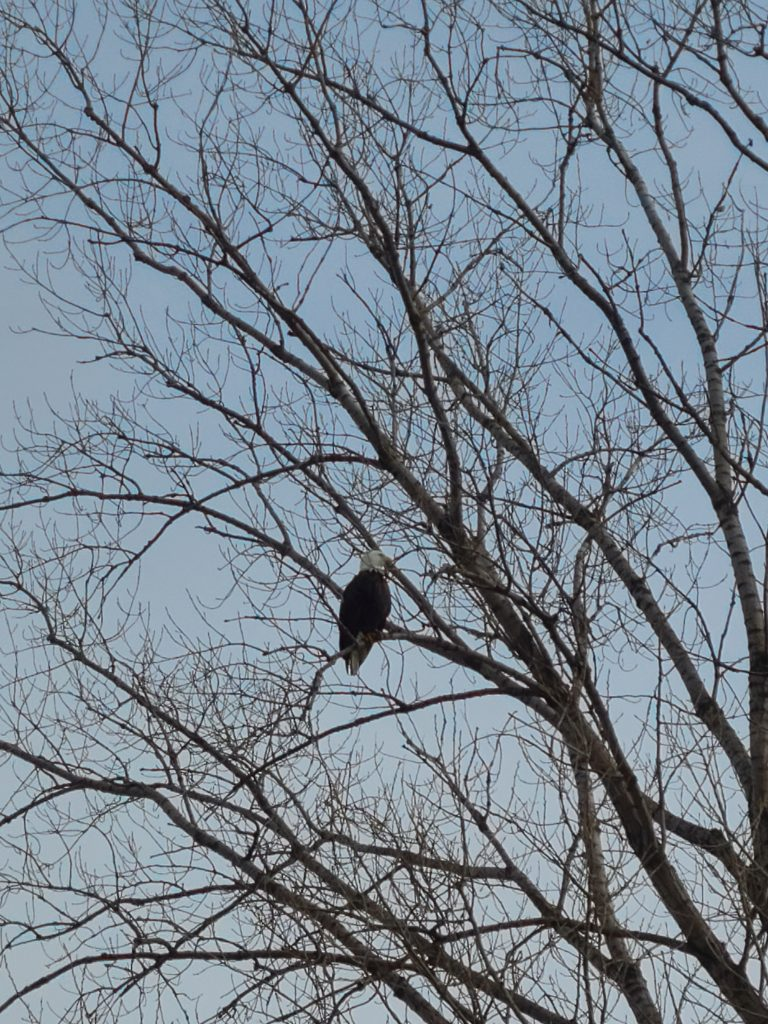 On Jan. 14, an adult bald eagle perched northeast of the Applied Physics and Superconducting Technology Division keeps a watchful eye on activities. eagle, bald eagle, bird, animal, nature, campus, tree Photo: Michael Geelhoed
