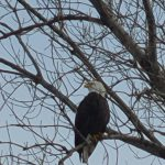 Up close. campus, nature, bald eagle, eagle, animal, bird, winter, tree Photo: Michael Geelhoed