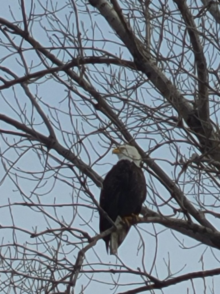 On Jan. 14, an adult bald eagle perched northeast of the Applied Physics and Superconducting Technology Division keeps a watchful eye on activities. campus, nature, bald eagle, eagle, animal, bird, tree Photo: Michael Geelhoed