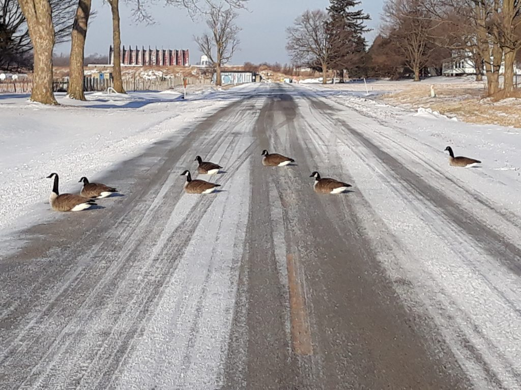 In January 2021, Canada geese sun themselves in the middle of a road on the Fermilab campus. Canada goose, goose, road, campus, winter, snow Photo: Luciano Elementi