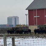 In February, bison snack near the road leaving Site 50. Wilson Hall looms in the background. Wilson Hall, winter, snow, bison, building, campus Photo: Joe Perona