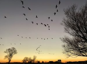 On an evening in December 2020, geese, bare trees and campus are silhouetted against the sunset as seen from Fermilab Village. winter, goose, campus, Village, sunset, nature, sky, tree Photo: Sudeshna Ganguly