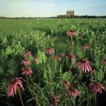 The fuschia petals of coneflowers foreground Wilson Hall and stud the green prairie on Fermilab's campus in June 2003. To participate in Fermilab's Earth Day celebrations, use this URL: eshq.fnal.gov/atwork/earth/ prairie, campus, landscape, Wilson Hall Photo: Reidar Hahn, Fermilab