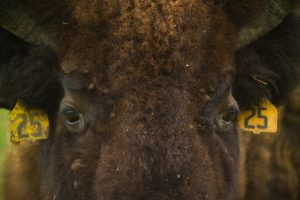 In anticipation of the arrival of baby bison at Fermilab, we're sharing some of our favorite bison photos from years past. In 2008, a bison gets its close-up. bison Photo: Reidar Hahn
