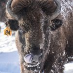 In anticipation of the arrival of baby bison at Fermilab, we're sharing some of our favorite bison photos from years past. On a snowy day in 2015, a bison licks its snout. bison, snow, winter Photo: Reidar Hahn