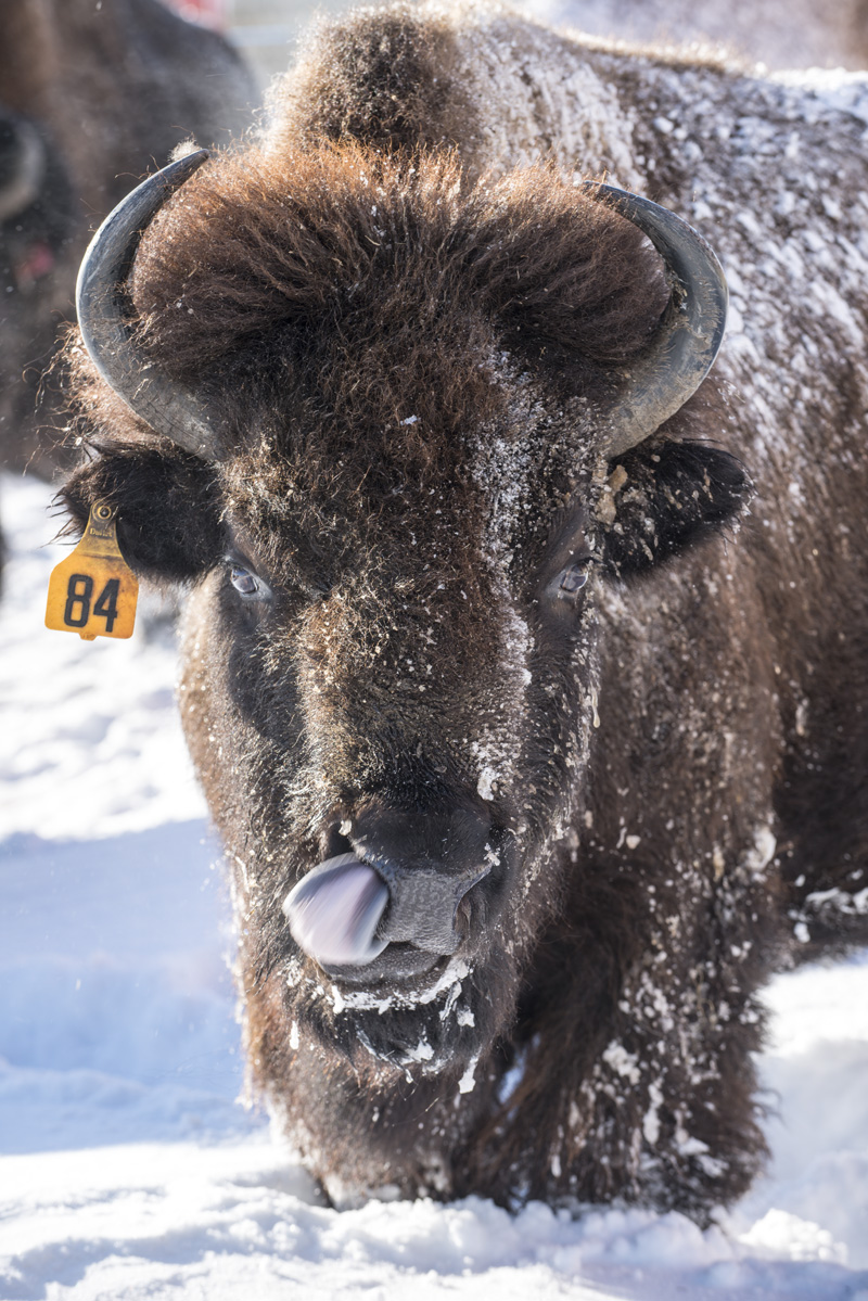 In anticipation of the arrival of baby bison at Fermilab in 2021, this week we're sharing some of our favorite bison photos from years past. On a snowy day in 2015, a bison licks its face. bison, snow, winter Photo: Reidar Hahn