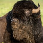 In anticipation of the arrival of baby bison at Fermilab, we're sharing some of our favorite bison photos from years past. In 2016, a bison on the Fermilab campus shows off its beard. bison Photo: Reidar Hahn